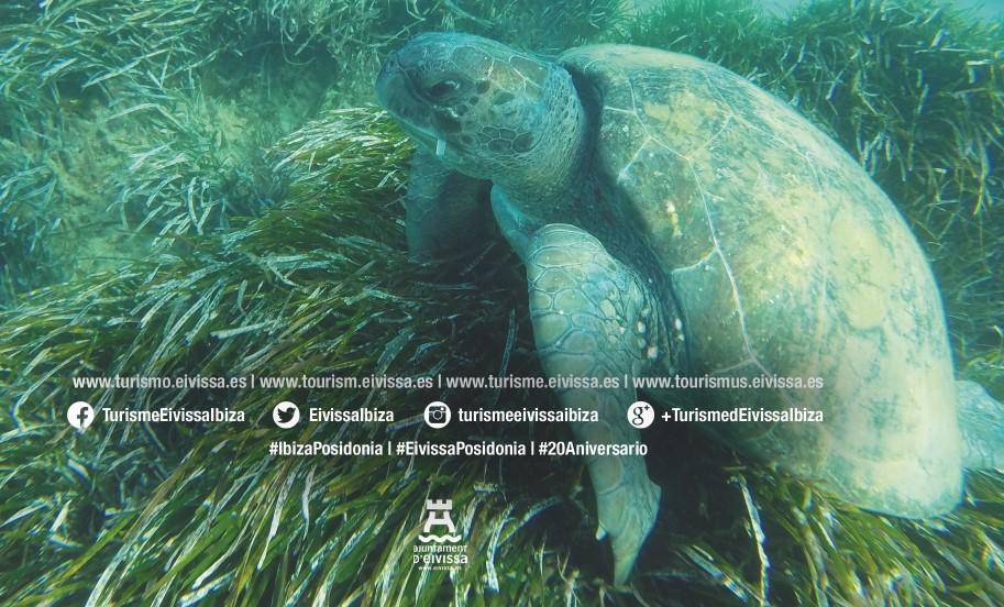 Ágora marina virtual Vive la Posidonia: El nacimiento de las tortugas en Eivissa